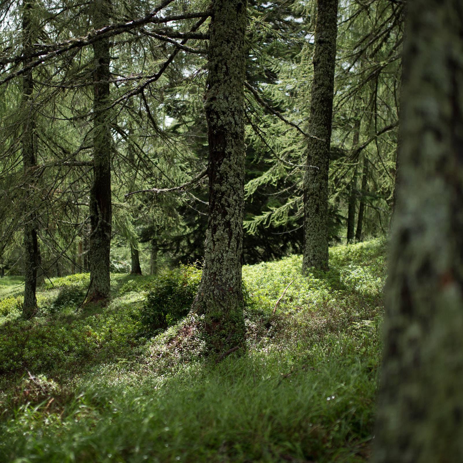 Regentaucher Fotografie | Inmitten alter Bäume in den italienischen Alpen